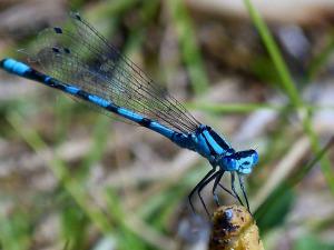 blue-dragonfly-1